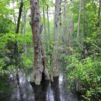 Великое мрачное болото, Вирджиния