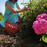 Сбор лепестков чайной розы