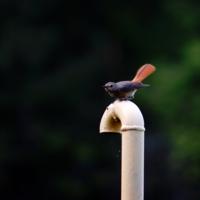 Птичка-факел