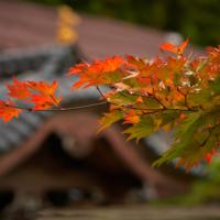 О, кленовые листья, Крылья вы обжигаете ....