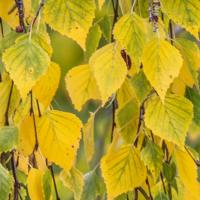 Осенние листья березы