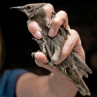 Окольцованная птичка