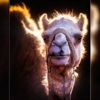 Золотому гарему - золотые верблюды