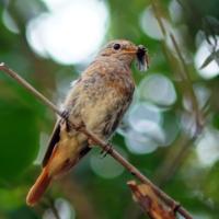 Птичка-горихвостка