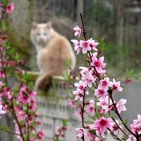 Цветущий персик на фоне кота Персика