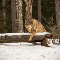 Волчья тропа