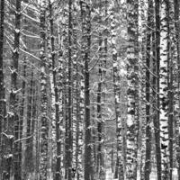 Черно белый лес