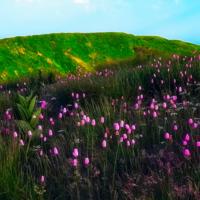 Малиновое цветение горного луга 5