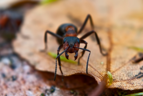 Серьёзный муравейка
