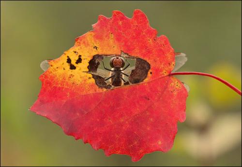 Про стрекозу и осень...