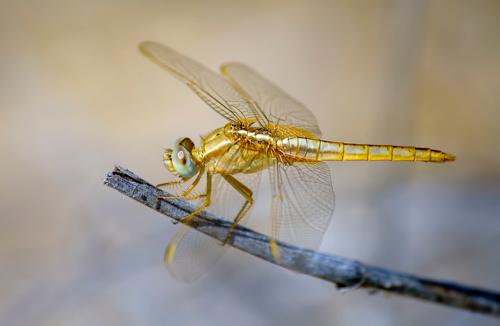 Золотая красотка